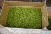 469b33ab8424301e582c9ae02849abc3.jpg 「朝倉山椒」