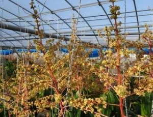 DSC00045_1.JPG マンゴー キーツの花1-7