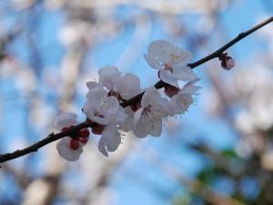 500-BB132L.jpg  桜