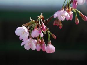 500-KS421L.jpg 桜
