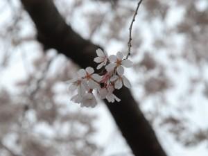 500-BB134L.jpg  桜