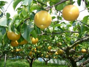 800px-Pear-tree,katori-city,japan.JPG  なしの栽培