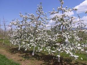 10310667_629109783837494_4058368796598899621_n.jpg 長野県農業試験場りんごの貴婦人たち