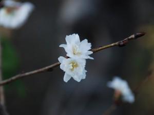 500-KR330L 寒桜