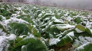 B3_w-oOCUAAMEUI.jpg large 風雪に耐えるキャベツ