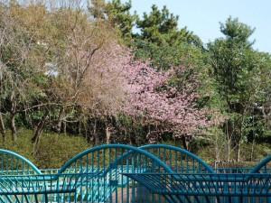 500-KW118L 河津桜