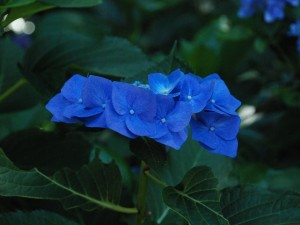 500-BD203L 紫陽花