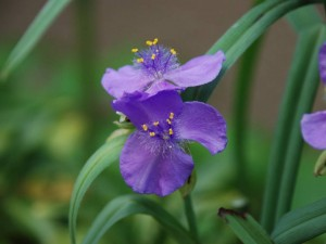 500-KM185L 紫露草