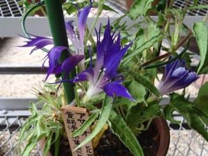 CL8AiUPUsAAT2ED  江戸園芸植物の変化