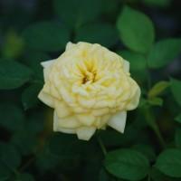 500-KH337L ミニ薔薇