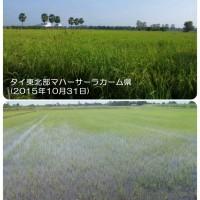 タイの稲作