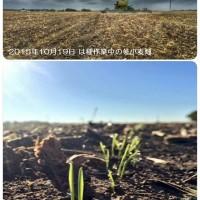 テキサス州の冬小麦畑