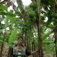 パランゴンのバナナ