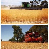 12495206_1734058050157643_4168217602937865703_n.jpg  乾燥に見舞われたなたね畑 in オーストラリア・ビクトリア州