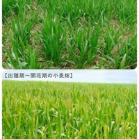インドの小麦