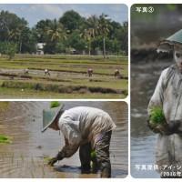 インドネシアの田植え