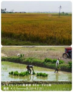 インドの稲作