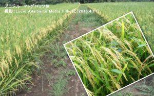 ブラジルの陸稲