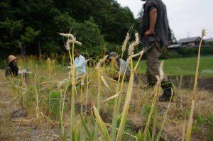小麦種とり1-2