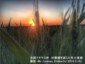 冬小麦の芽がでてきたテキサス州