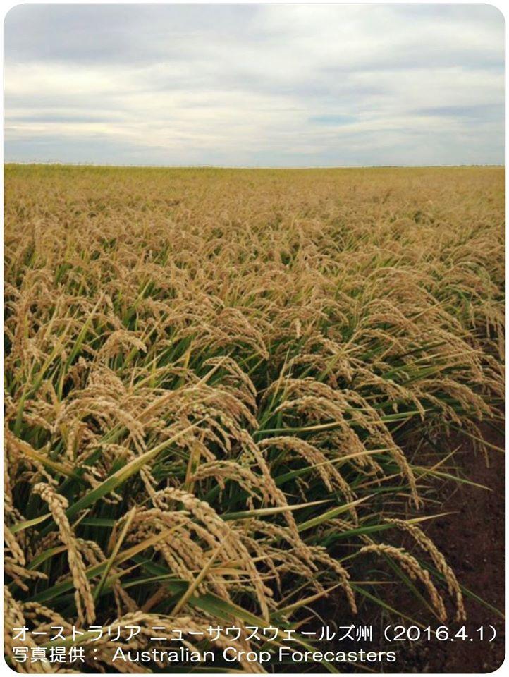 オーストラリアの稲作