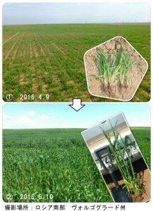ロシア南部の小麦