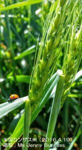 カンザス州の小麦