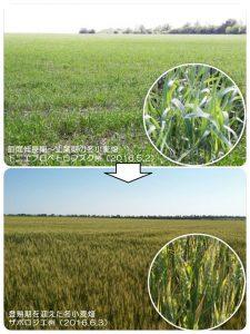 ウクライナの冬小麦
