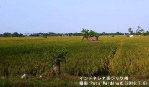 ジャワ島の乾季米