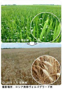 ロシアの小麦
