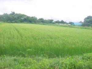 杉田さん山にある水田