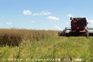 ウクライナのナタネの収穫
