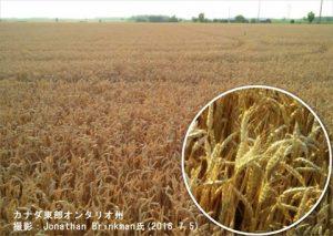 カナダの冬小麦