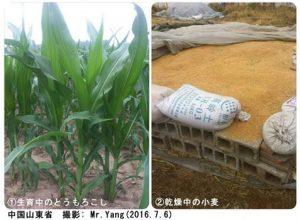 中国の小麦・とうもろこし