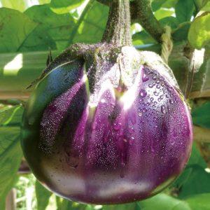 紀州の伝統野菜「湯浅なす」