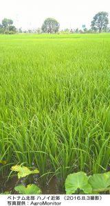 ベトナムの稲作