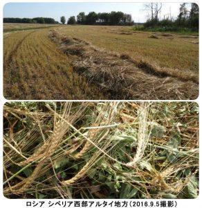 シベリア西部の春小麦