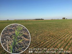 ブエノスの小麦