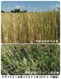 カザフスタンの春小麦