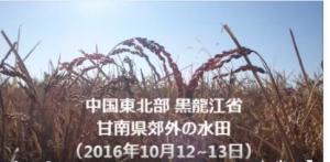 黒竜江省の水田