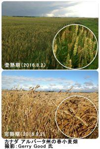 カナダの春小麦収穫中