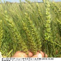 オーストラリアの小麦