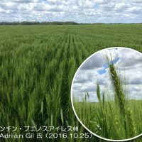 アルゼンチンの小麦