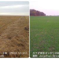 カナダの春冬小麦