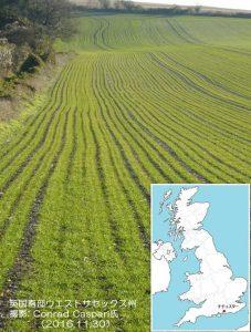 英国の冬小麦