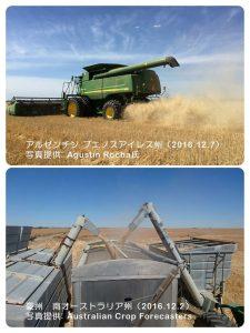 南半球の小麦