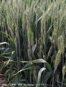 中国の小麦.