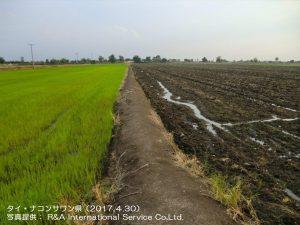 タイの雨季米と乾季米