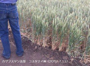 カザフスタン冬小麦の作柄