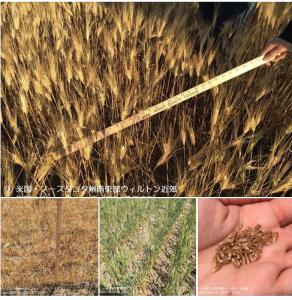 ノースダコダ州春小麦